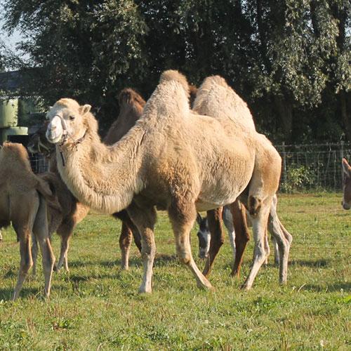 Kamelenstal